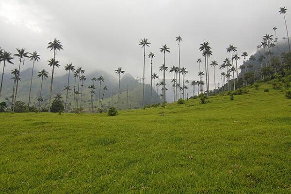 Un valle de palmeras gigantes
