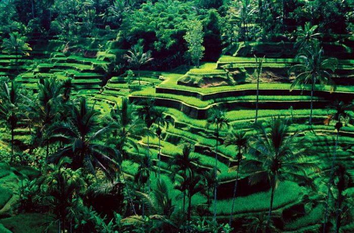 Hermosa imagen de los campos de arroz de Ubud