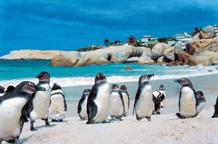 Pingüinos africanos en Boulders Beach