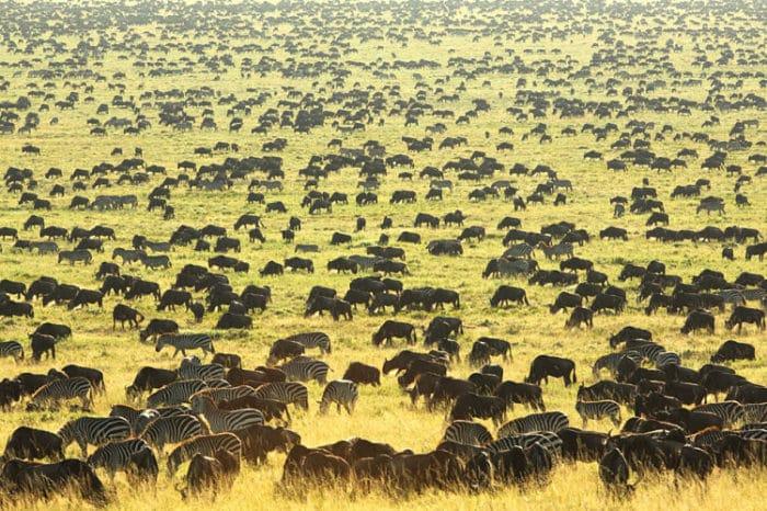 Migración de Ñus en el Parque Nacional Serengueti