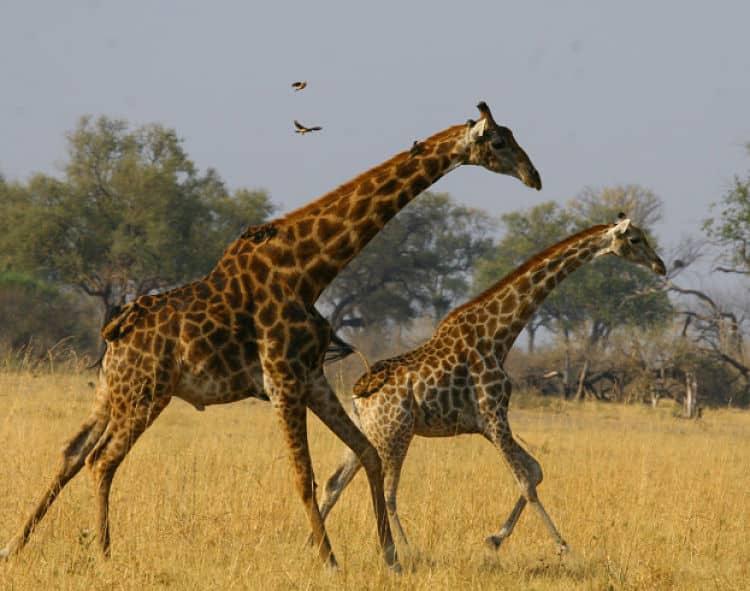 Safaris-en-África1