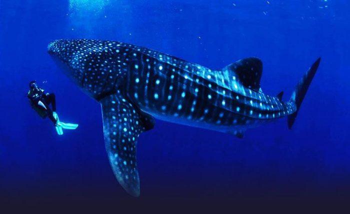 Tiburón Ballena en Donsol