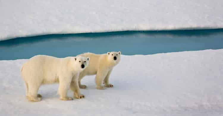 Osos Polares en Churchill