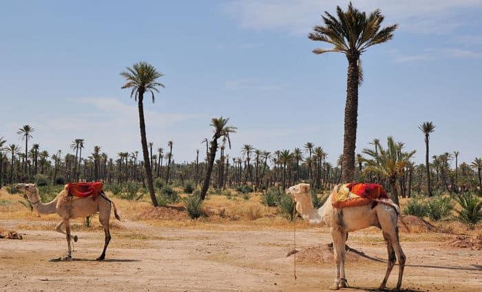 palmera de marrakech
